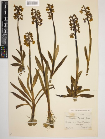 A herbarium sheet of green-winged orchid (Anacamptis morio); one of around 10,000 historical specimens available online for data verification or transcription
