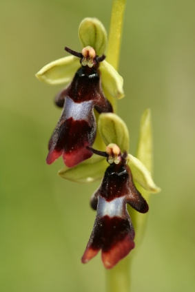 The unique flowers of the Fly orchid (Ophrys insectifera) in Gloucestershire. Photo by Mike Waller.