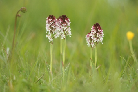 A group of Burnt orchids is now a rare sight in the British countryside. Photo by Mike Waller.