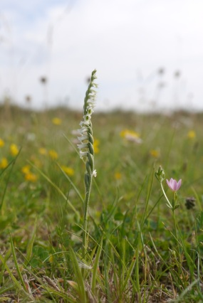 Autumn Lady's-tresses (Spiranthes spiralis) Photo: Kath Castillo